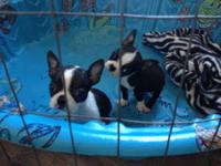 These little Boston Terrier Puppies are ready to find