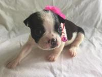 Sweet Boston terrier female pup ready 8-1-15. This