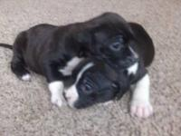 I have two super sweet boxer and blue nose pitbull