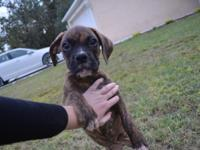 We have three adorable boxer pups ready to go. There