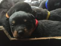Sweet Care Homies Fine Rottweiler Puppies Available Now