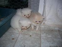 Very sweet CFA Persian kittens. (2) White females and