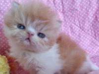 --Sweet CFA Persian kittens available!-- 2 Solid Black
