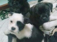 3 Adorable Lhasa Apso Chihuahua mix Puppies. they are