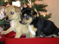 I have 2 male chihuahua dogs offered to good home. They