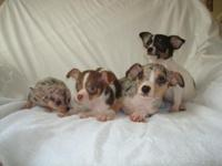 CKC reg. Chihuahua puppies born on April 17, 2015. Very