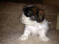 We have four adorable, male, CKC registered, Shih Tzu