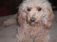 Sonny is a sweet CKC registered Toy Poodle. He loves to