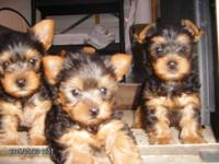 Puppies were born April 2,2015 and will be ready for