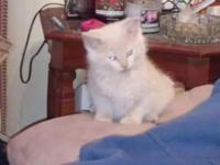 Sweet Loving Fluffy Persian Kittens Playful n Brothers