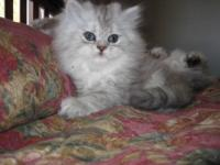 WE HAVE FOUR ADORABLE PERSIAN KITTENS FOR SALE. THERE