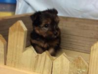 I have up for adoption 5 stunning Yorkie puppies. There