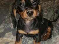 I have 2 male black/brown Dachshund young puppies