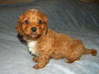 Sweet F1b doxie poo puppy blonde and white markings.