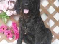 F1b Labradoodles: 1 very sweet little black girl.