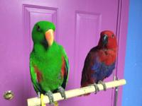 Beautiful, sweet female and male eclectus. Both are