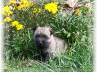 Beautiful Cairn Terrier Puppy. She's got a very pretty