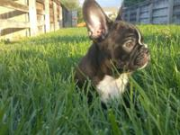 We have one little Frenchton left for sale, she turned