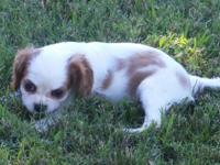 I have an adorable Cavalier puppy born on June 4, 2015.