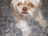 Sassy is a very sweet, loving peke-tzu. Her mom is