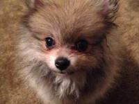 I have an adorable Pomeranian girl available to a pet