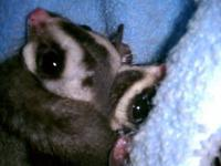This sugar gliders name is Helen,she is very sweet and