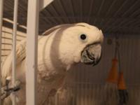 Lola is a sweet and loving Umbrella Cockatoo. She loves