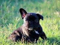Royce is an amazing French Bulldog puppy,very nice