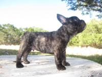 French Bulldog Puppy. This sweetheart (affectionately