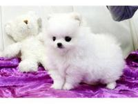Purebred teacup Pomeranian puppies available for good