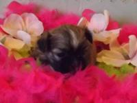 Taking deposits on 2 litters of Shih Tzu puppies born