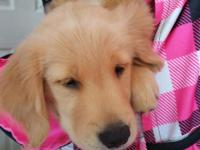I have 2 adorable females Golden retriever puppies!