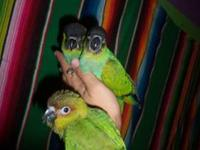 WE HAVE 2 BABY NANDAYS CONURES, ONE IS READY FOR ITS