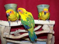 I have 3 adorable little Sun Conure babies I am