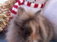 I have three young beautiful Harlequin Lionhead