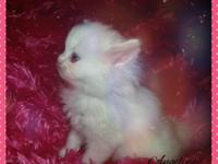 Purrepiphany has 3 beautiful female kittens that will