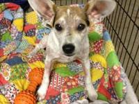 Sadie is 1 year old Jack Russell Terrier. She is
