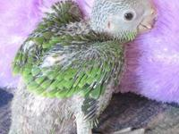 We have 1 baby Lilac Crowned Amazon left available and