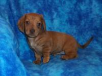 Little Annie is a sweet little registered Dachshund