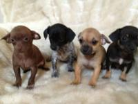 Little Chihuahua 10 week old puppies. Puppies are