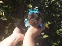 I have a sweet loving CKC male yorkie young puppy. He