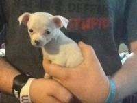 We have this sweet little CKC female chihuahua puppy