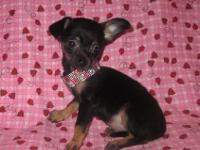 I have 1 Sweet Little Female Chihuahua Puppy Looking