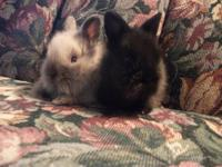 We have 6 very sweet baby lionhead bunnies available.