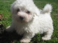 Meet Jordan, he is a purebred Bichon Frise male puppy.