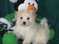 Cute little Morkie-Poo young puppies are prepared for