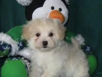 Charming little Morkie-Poo young puppies are prepared