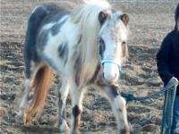 Large mini mare. About 9hh. Currently cared for and