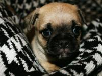 Absolutely stunning guy purebred Pug puppy. He is cute