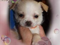 I have two Shi Chi puppies that are males left. I have